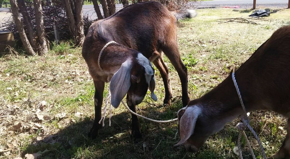 The goats were found near 206000 East Finley Road. If you know who they belong to or they belong to you, please email news@nbcrightnow.com.
