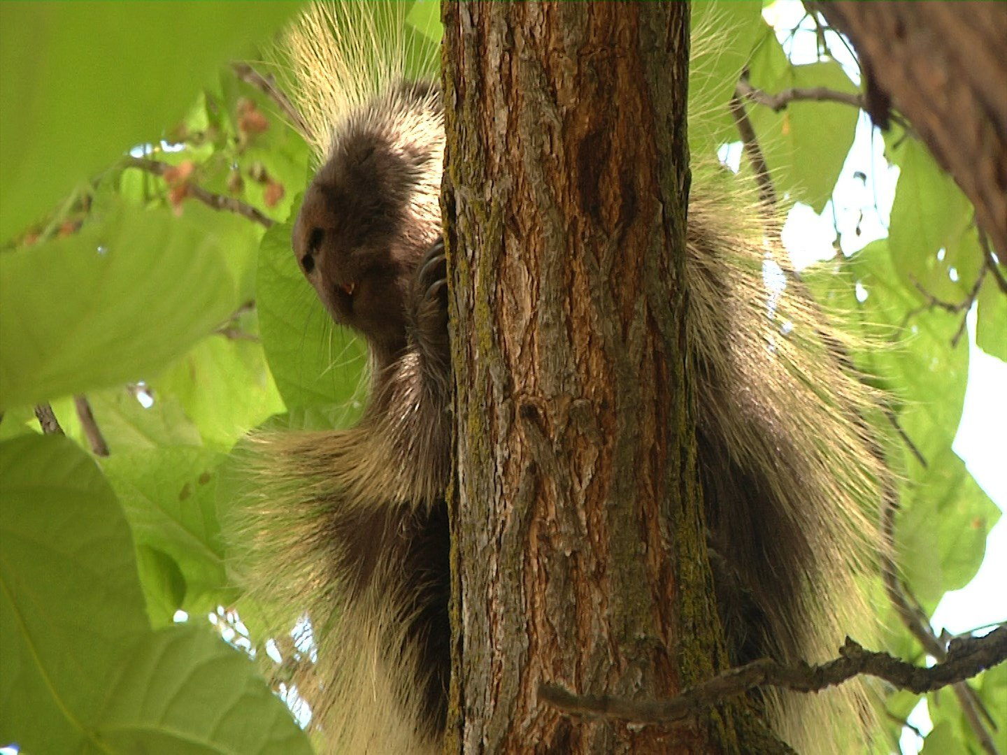 A porcupine hangs out in a tree on the corner of Lincoln Avenue and 9th Street in Yakima