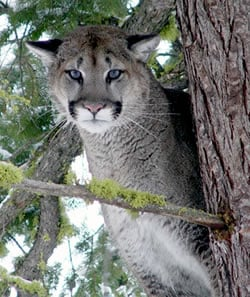 Cougars, or Mountain Lions, are the largest cats of the cat family in North America