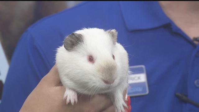 pet guinea pig care   nbc right now kndo kndu tri cities yakima wa