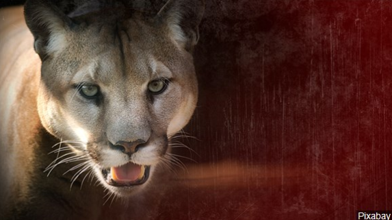Cougar swx