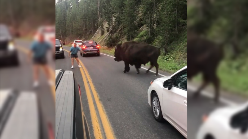 Man arrested for taunting bison in Yellowstone National Park