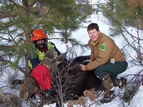 ODFW wildlife biologist Pat Matthews with a member of the team that helped collar a moose in northeast Oregon. Courtesy: Oregon Department of Fish and Wildlife
