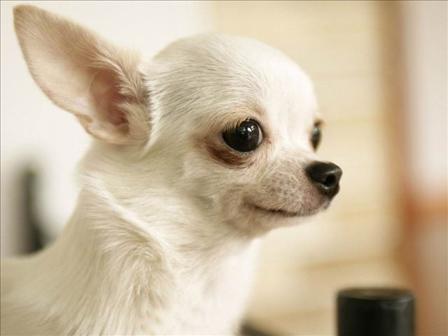 The call came in and Seattle police responded. The reported crime: assault on a Chihuahua.