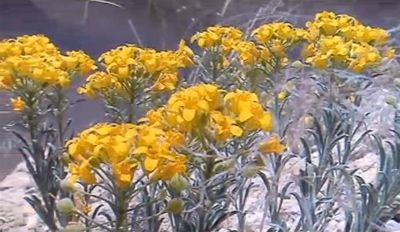 The U.S. Fish and Wildlife Service has delayed a final ruling on the endangered status of the White Bluffs Bladderpod found in Benton and Franklin Counties.