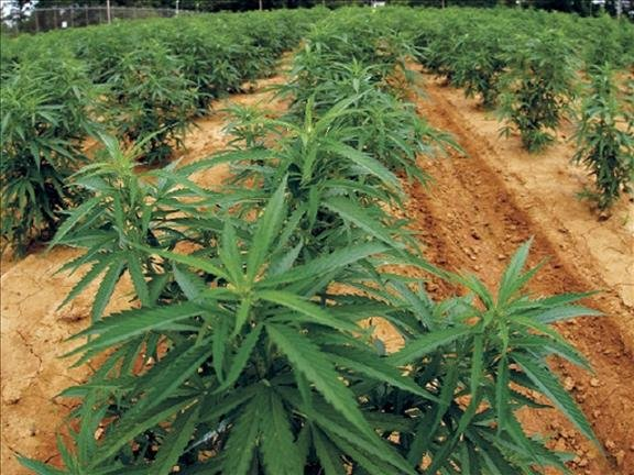 The Washington State Patrol located a decreased number of large, outdoor marijuana grows on public land during the 2013 summer growing season.