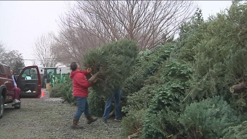 Camp Prime Time in Yakima is not seeing as many Christmas trees being recycled this year.