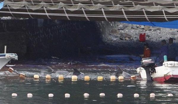 Courtesy: Adrian Mylne - Fishermen hunt dolphins in the shallows of a cove in Taiji, western Japan, on Tuesday.