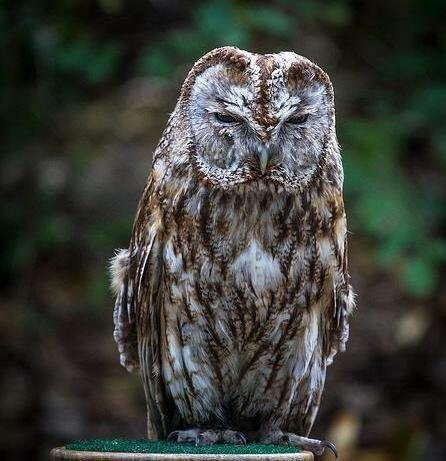 A 14-year-old Tawny Owl named Sherman was stolen from the Raptor House Saturday night  (Photo Credit: Brian M. Christopher)