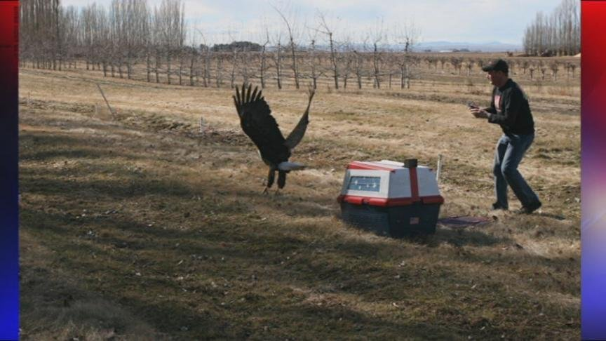 Monday was a triumphant day for Wilson the bald eagle. Wilson was named after Seahawks quarterback Russell Wilson and he was released back into the wild Monday morning.