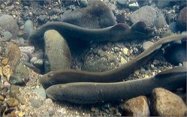 A new structure at McNary Dam should help Pacific lampreys migrate up the Columbia River.