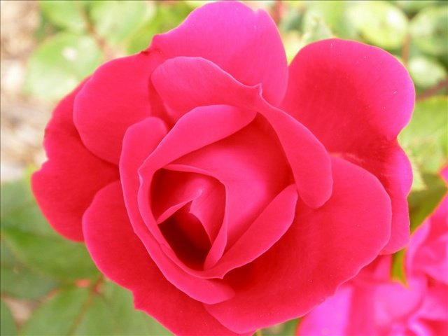 Anyone interested in learning to prune roses can take a class on it this Saturday.