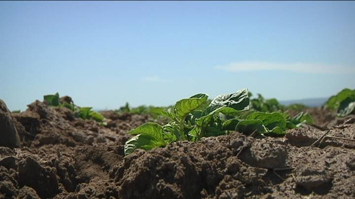 Randy Mullen grows potatoes just outside of Pasco. He said the hot weather coming up is not favorable for his crops, temperatures in the mid- 80's are much more welcome.