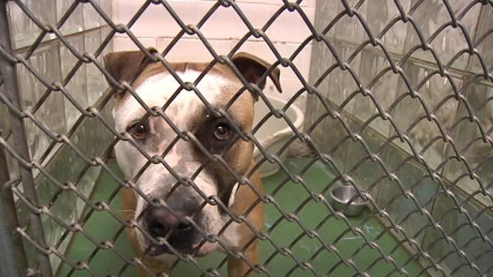 Pit bulls get a bad reputation. In Yakima the breed of dog is banned if it is not a service animal, but in the Tri-Cities it is a different story.