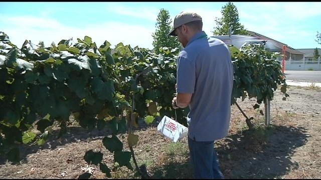 Mid-Columbia vineyards are now more prepared to handle a moth invasion.