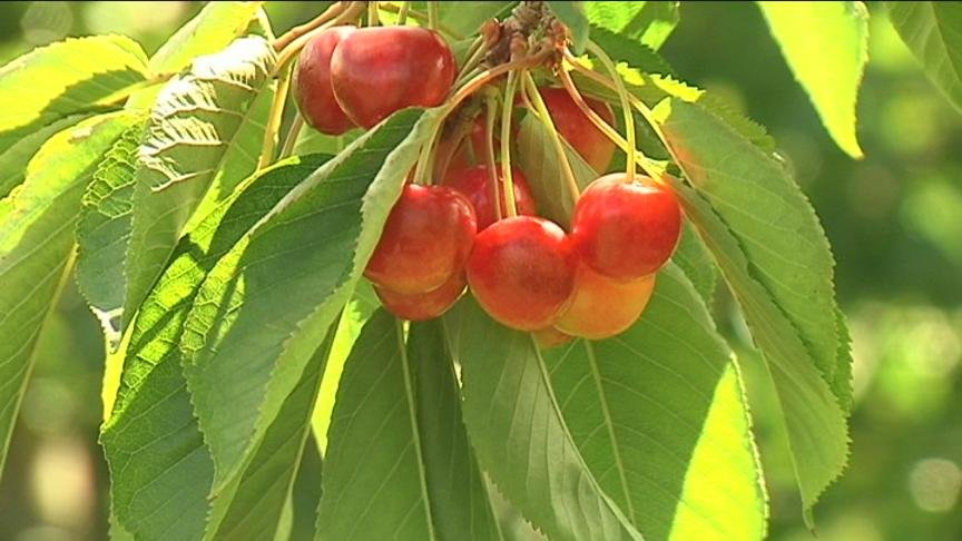 It was almost a rain free season for cherry growers in Yakima, but on Thursday night, rain soaked cherry fields which is bad for business.