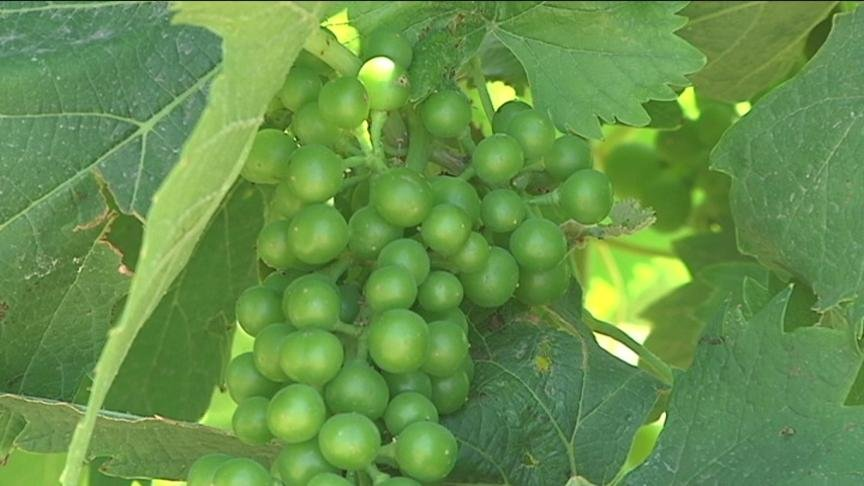 Yakima County vines are just now producing grapes that could someday make it into your glass and winemakers say the right amount of sun will produce the best tasting wine.