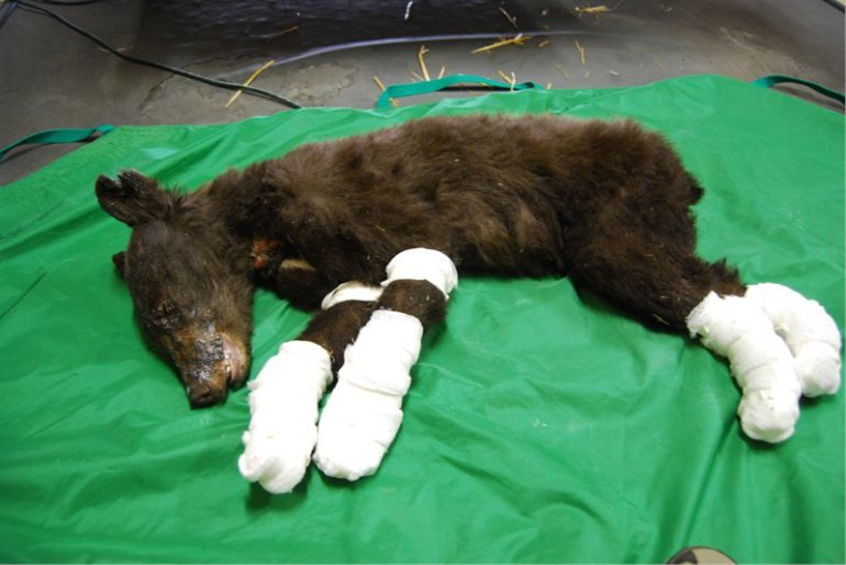 A black bear cub who was badly burned by the Carlton Complex wildfire is on her way to recovery. Courtesy: State Dept. of Fish & Wildlife