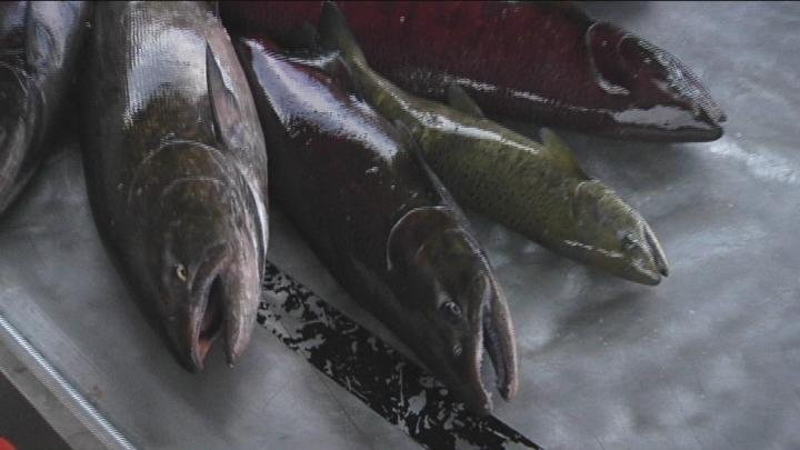 Grant County PUD says the salmon numbers we're seeing are finally getting back to how the fish populations looked before the dams were built back in the 30's.