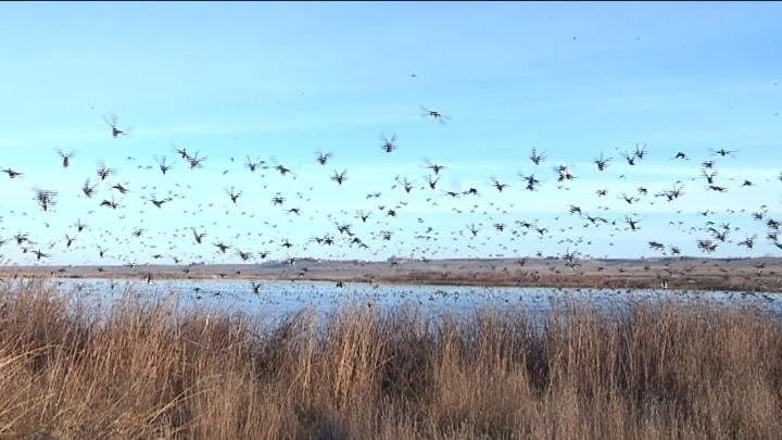 . NBC Right Now met up with biologists at the McNary National Wildlife Refuge on Tuesday to get a feel for just how many birds migrate through our area.