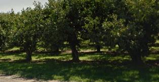 Growing woes reducing size of bing cherry crop
