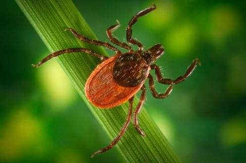 WA State Dept. of Health Wants to Know if You Find Ticks