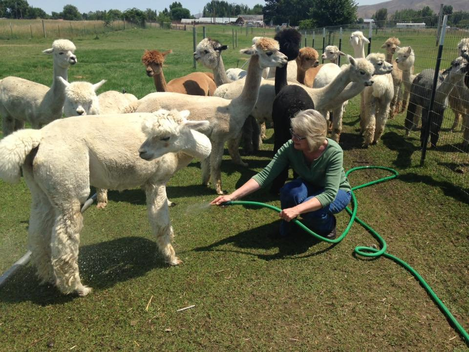 Heat Keeps Alpacas At Home - NBC Right Now/KNDO/KNDU Tri-Cities ...