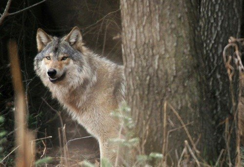 Officials remove wolf from state endangered species list