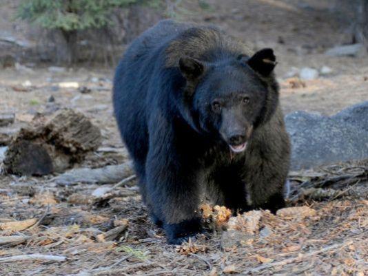 Boise hunter survives attack by black bear