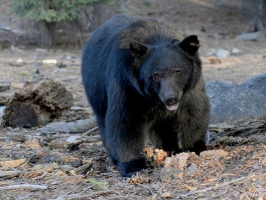 Boise hunter survives attack by black bear