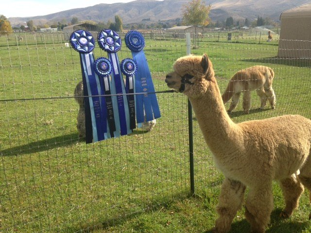 The alpacas will compete for awards.