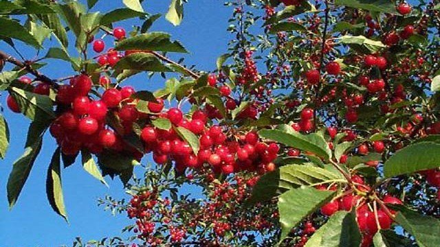 Cherry pickers file lawsuit against owners of Yakima Valley farm
