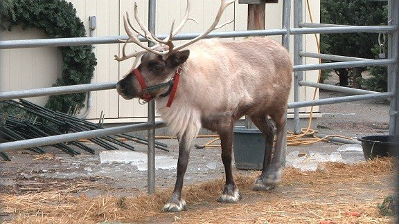 This is a picture of one of the reindeer kids can take pictures with.