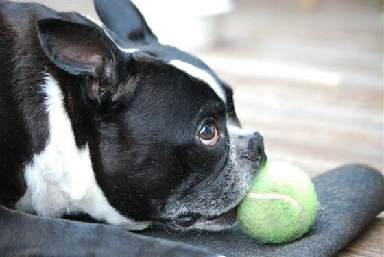 Courtesy: The Mawaka Family -- Toby, a 6-year-old Boston terrier, died in 2012 after his owners say he was sickened by chicken jerky pet treats made in China.
