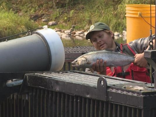Salmon Cannon new way to move fish