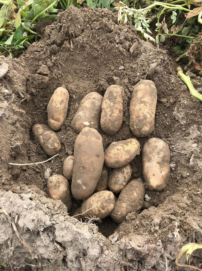 It\'s national potato month! - NBC Right Now/KNDO/KNDU Tri-Cities ...